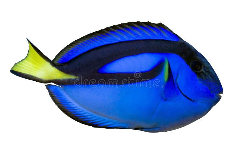 Linguetta regale blu (hepatus di paracanthurus) isolata fotografie stock