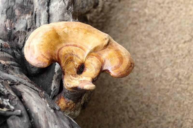 Lingzhi蘑菇 库存照片