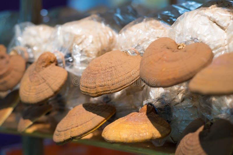 Lingzhi mushroom grown in the bag log. In the farm royalty free stock photos