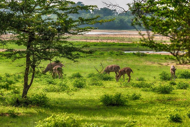 Linha central cingalesa cervos manchados no parque nacional de Yala foto de stock royalty free