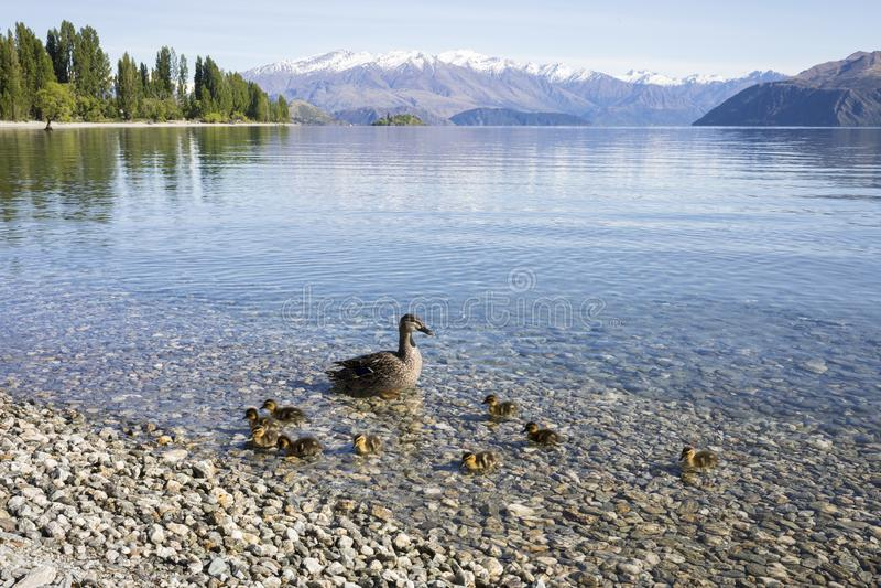 Linha costeira com patos, baía de Wanaka do lago de Roys, Wanaka, Nova Zelândia fotos de stock royalty free