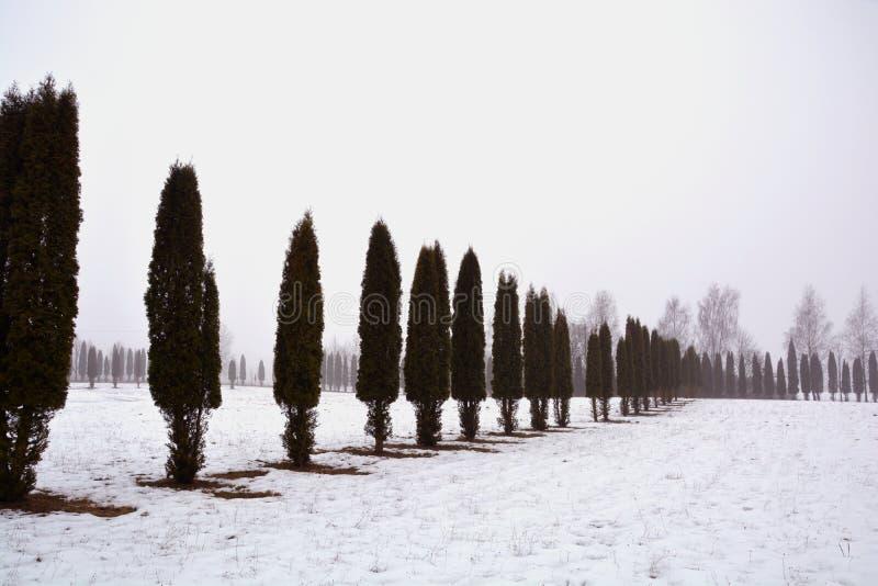 Linha de árvores do Thuja na neve na névoa da manhã fotos de stock royalty free