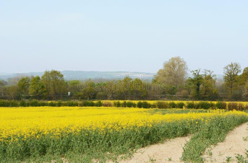 A linha de estrada de ferro cruza-se através de um campo da violação de semente oleaginosa amarela fotografia de stock royalty free