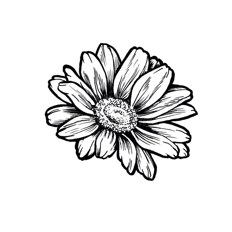 Linha esboço da flor da margarida da tinta do gráfico ilustração do vetor