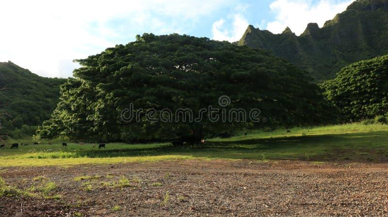 Linha norte da montanha de oahu da costa e árvore e campo verdes foto de stock royalty free