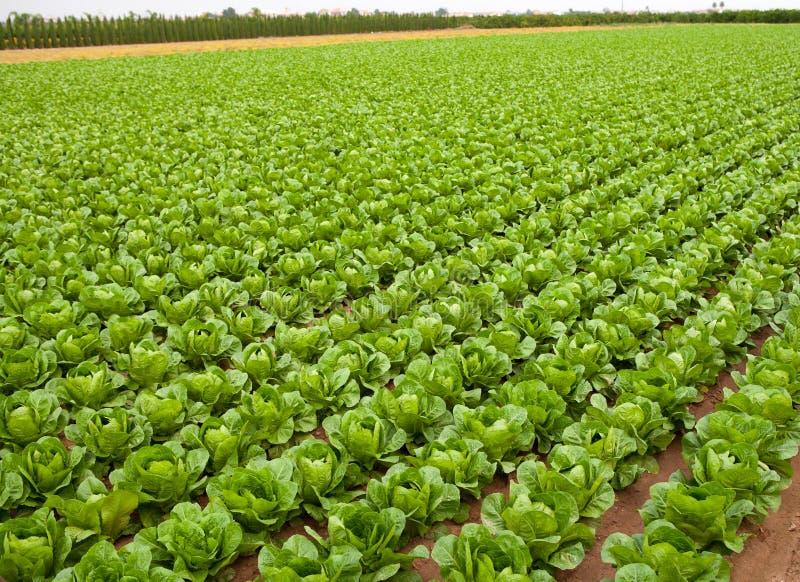 Linhas de campo da couve em seguido em Valencia Spain foto de stock royalty free