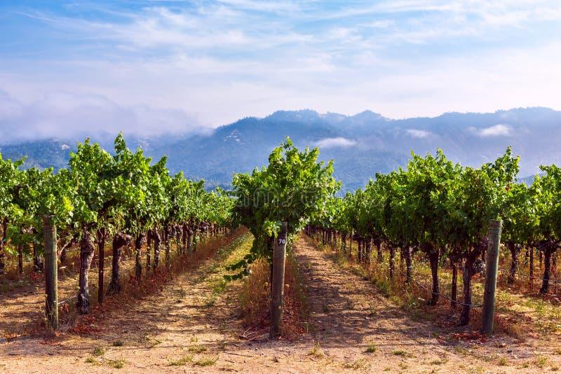 Linhas de uva em vinhedo em Napa Valley, Califórnia fotografia de stock