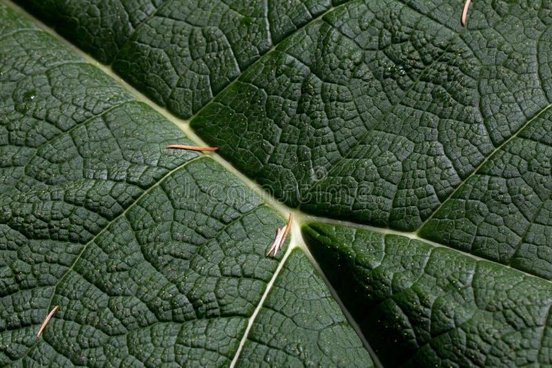 Linhas de vida - feche acima da folha gigante do ruibarbo foto de stock