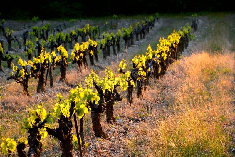 Linhas diagonais de videiras translúcidas no por do sol, mola em um viney imagens de stock royalty free