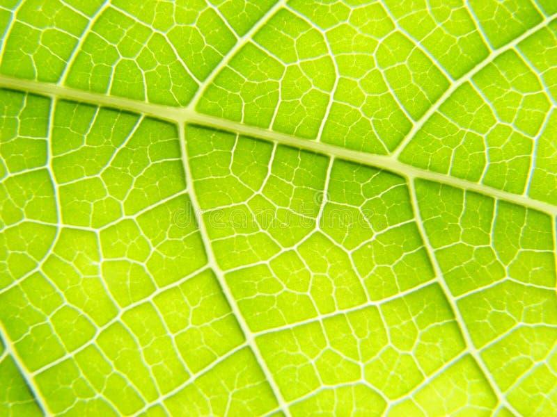 Linhas verdes do macro da folha fotos de stock royalty free