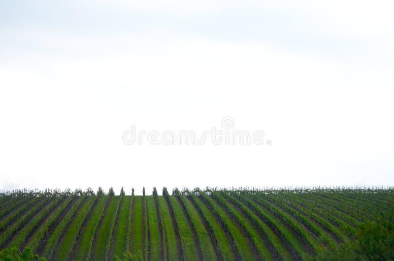 Linhas verticais de vinhas vistas contra um céu nebuloso fotografia de stock royalty free