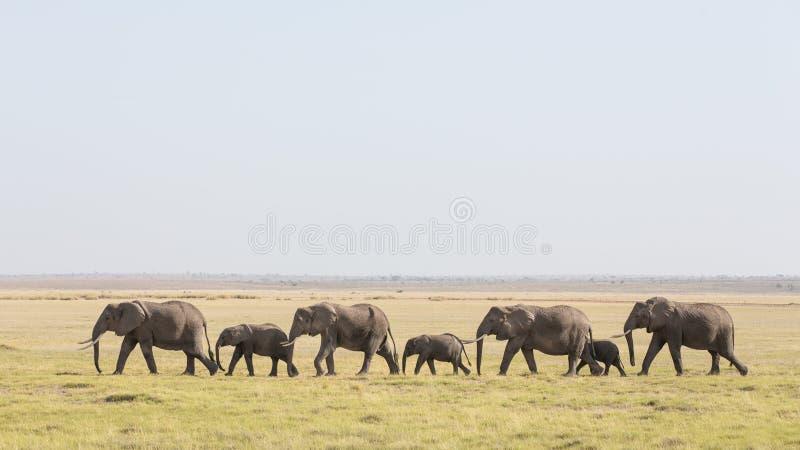 Linia Afrykańscy słonie chodzi przez Amboseli w Kenja fotografia stock