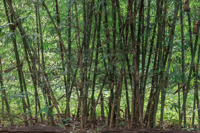 Linie Bildung des Bambusses stockfotografie