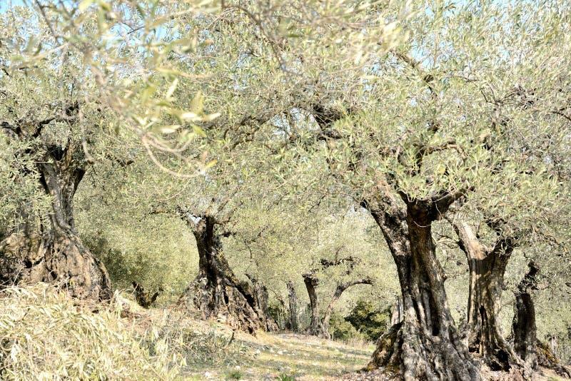 Linie drzewa oliwne w polu drzewa właśnie przycinają _ obrazy stock