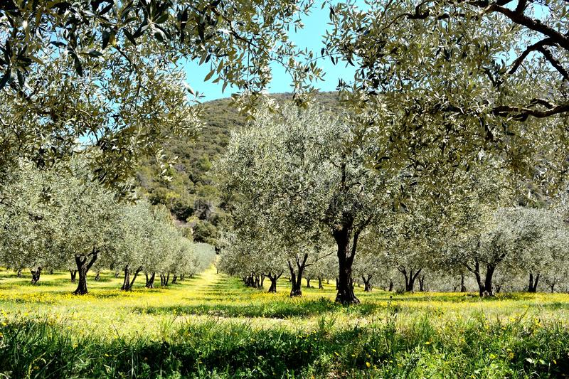Linien von Olivenbäumen auf einem Gebiet, umfasst durch gelbe Frühlingsblume lizenzfreies stockbild