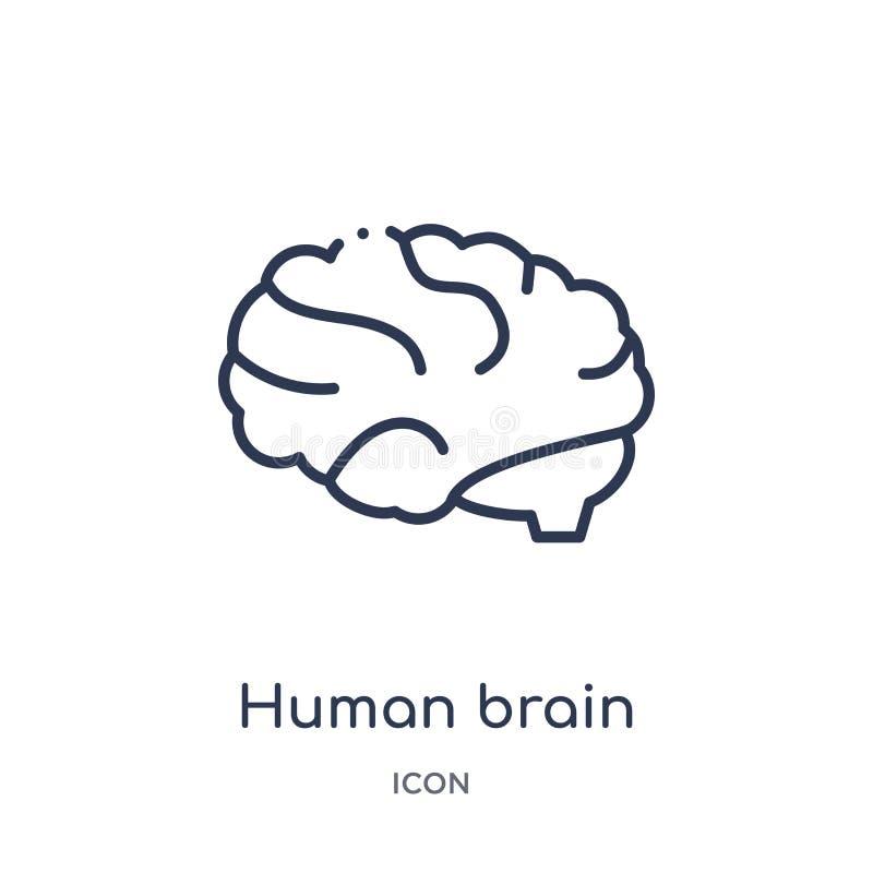 Liniowa ludzki mózg ikona od edukacja konturu kolekcji Cienieje kreskowego ludzkiego mózg wektor odizolowywającego na białym tle  ilustracja wektor
