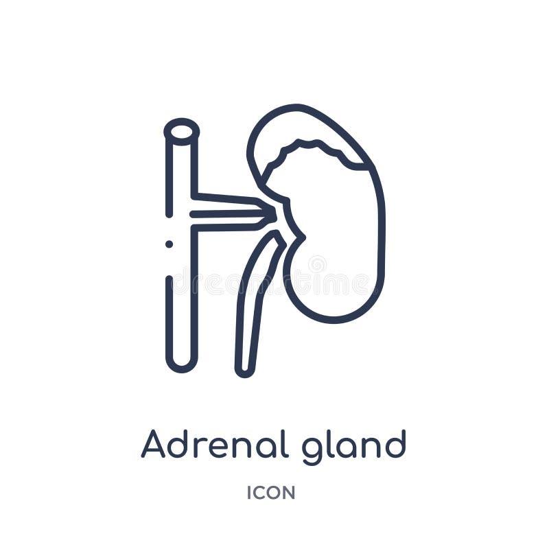 Linjär symbol för binjur- körtel från medicinsk översiktssamling Tunn linje symbol för binjur- körtel som isoleras på vit bakgrun stock illustrationer