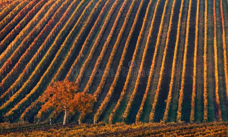 Linje och vin Ett ensamt höstträd mot bakgrunden av de geometriska linjerna av höstvingårdar royaltyfria foton