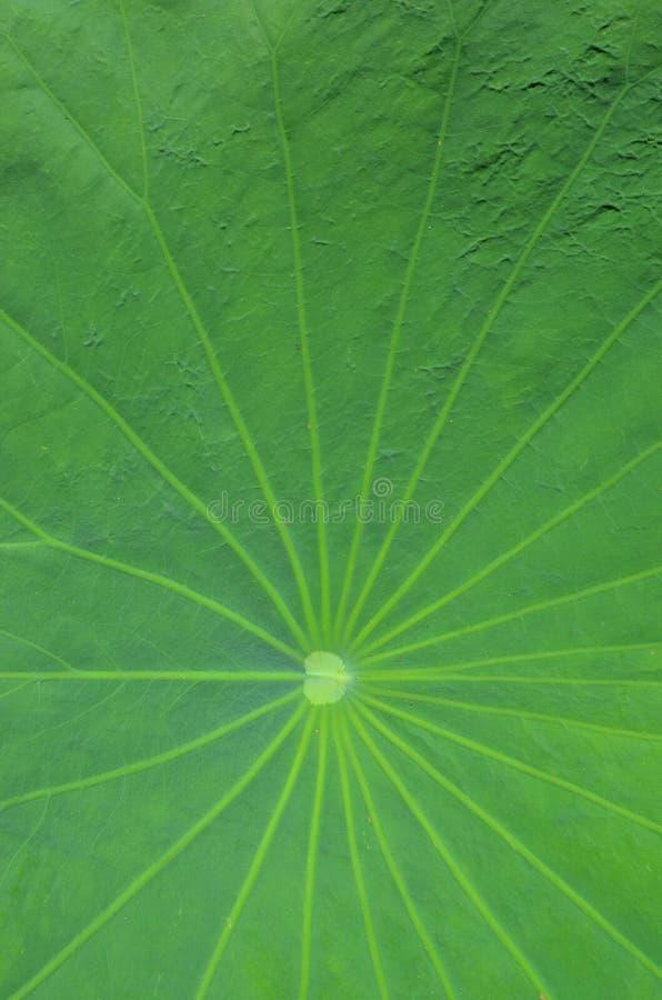 Linjer fr?n modell f?r mittpunkt av gr?n lotusblommabladtextur arkivbild
