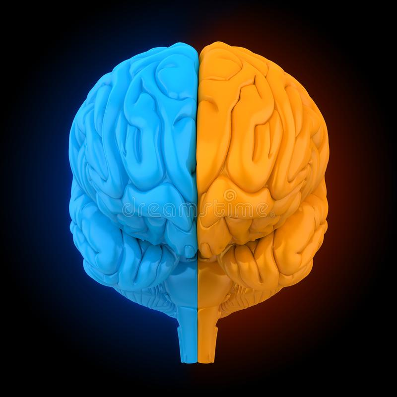 Linker en Juist Menselijk Brain Anatomy Illustration royalty-vrije illustratie