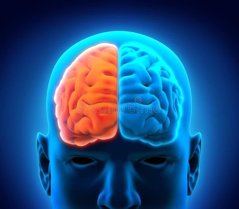 Linker en Juiste Menselijke Hersenen royalty-vrije illustratie