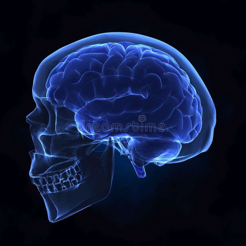 Linker mening van menselijke schedel en hersenen stock foto's