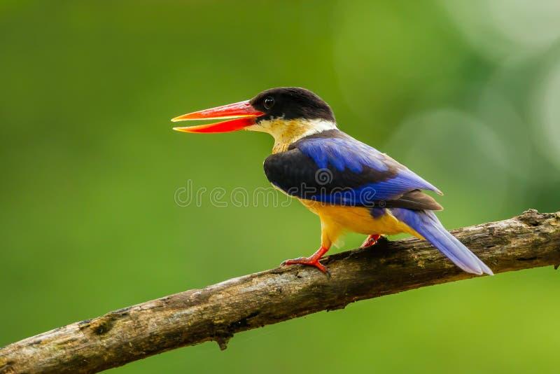 Linkerkant dichte omhooggaand van zwart-Afgedekte Ijsvogel stock afbeeldingen