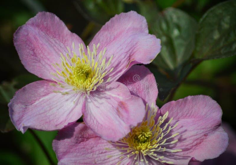 2 Links Blumen blühen in der Sommersonne in Dublin's Phoenix Park stockbilder