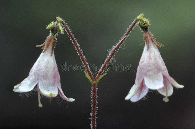 Linnea pequeño con y flor rosada imagen de archivo