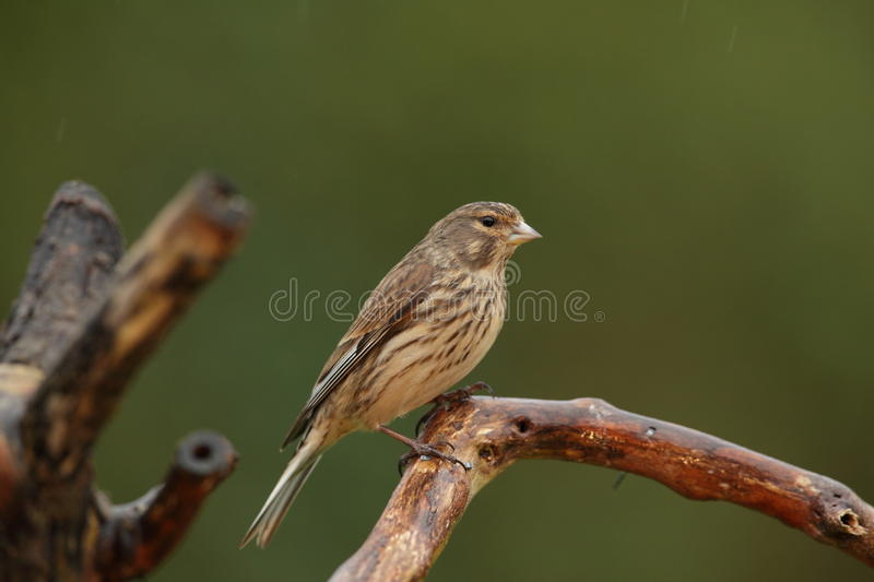 A linnet bird. A linnet on a perch in profile view looking into the camera against a green out of focus background stock image