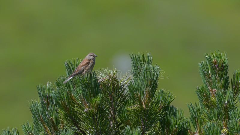 Linnet on stone pine in the high mountains. In summer stock images