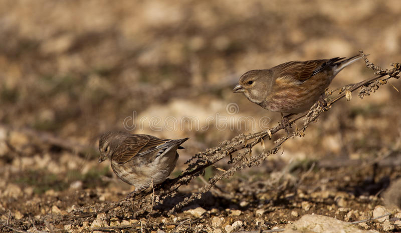 Download Linnets (Carduelis Cannabina) Stock Photo - Image of wildlife, wild: 28662788