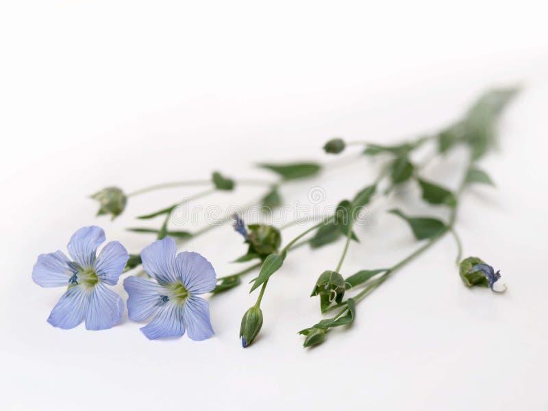 Lino blu fotografia stock