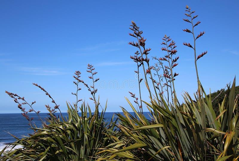 Lino de Nueva Zelanda Harakeke que florece por el océano imagenes de archivo