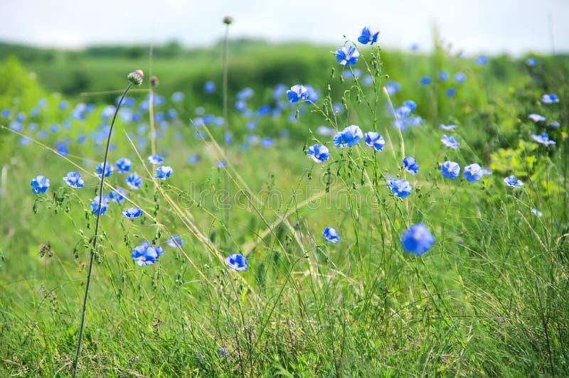 Lino floreciente en prado foto de archivo libre de regalías