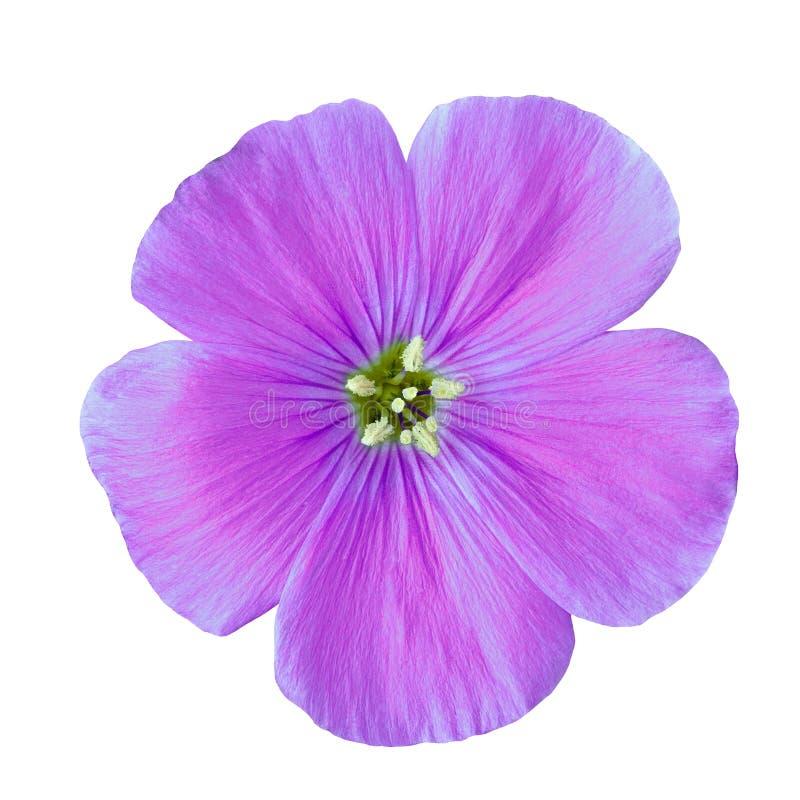 Lino lilla del fiore isolato su fondo bianco Fine del germoglio di fiore in su Elemento del disegno fotografia stock libera da diritti