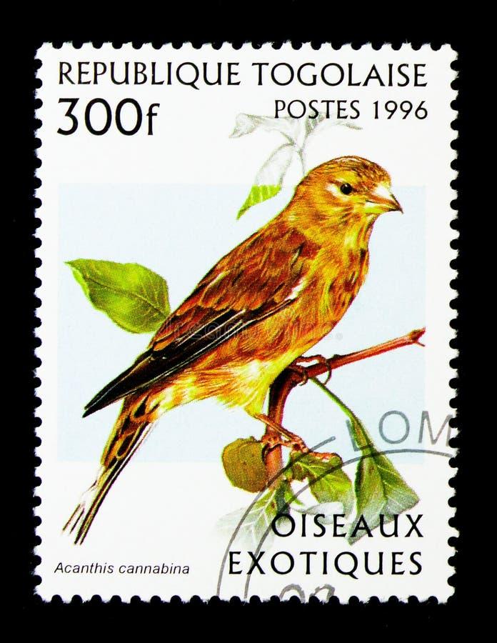 Linotte commune (cannabina d'Acanthis), serie exotique d'oiseaux, vers 19 photos libres de droits