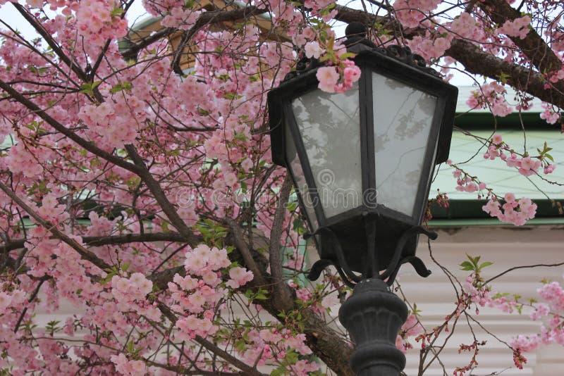 Linterna y flores de Sakura fotografía de archivo libre de regalías
