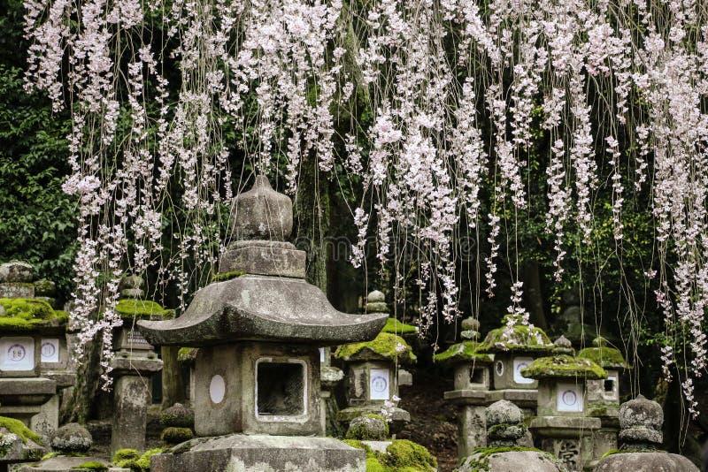 Linternas japonesas de piedra viejas y ramas de florecimiento Sakura en la capilla magnífica de Kasuga, Nara, Japón foto de archivo