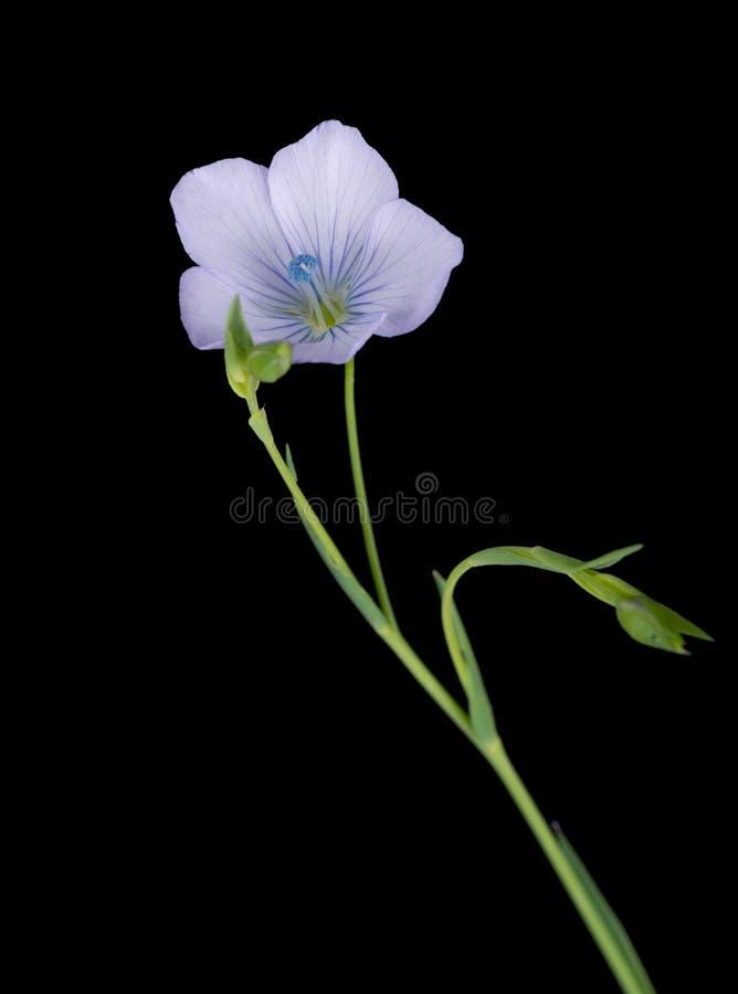 Linum Bienne - le macro détail de lin pâle, jaillissent fleur sauvage images libres de droits
