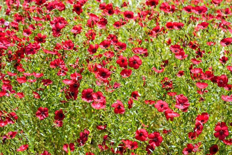 Linum grandiflorum in the botanical garden stock photography