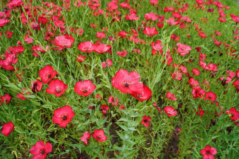 Linum grandiflorum - Red flowers in the botanical garden. Decorative variety of flax stock photos
