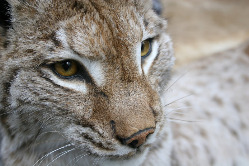 Download Linx stock photo. Image of trot, closeup, mammal, face - 1412356