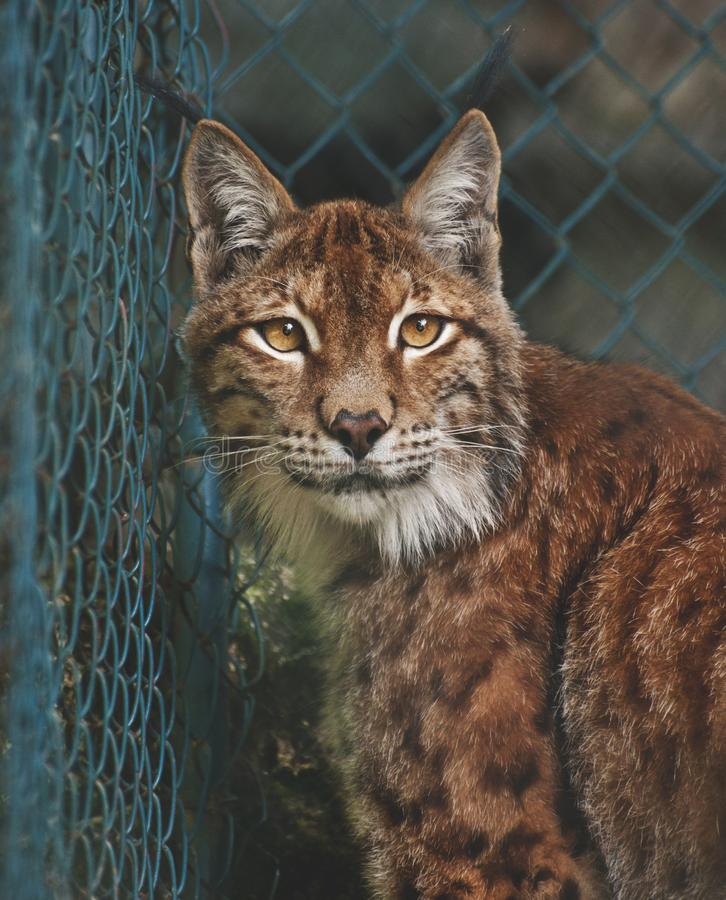 Linx portrait royalty free stock image