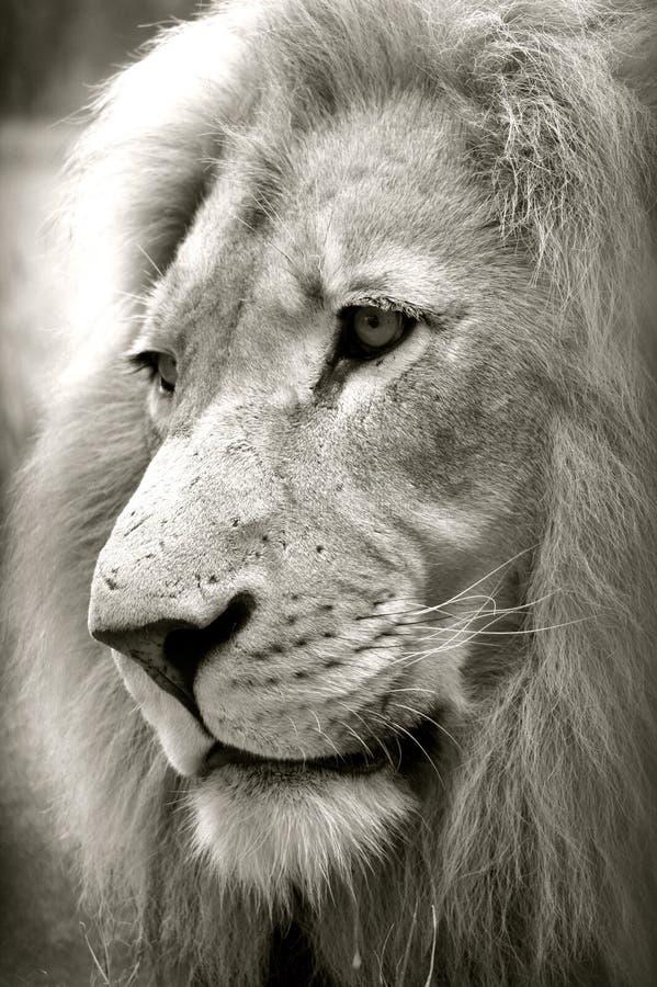 Lion先生 免版税库存照片
