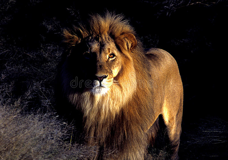 Lion. I see this Lion at the break of day