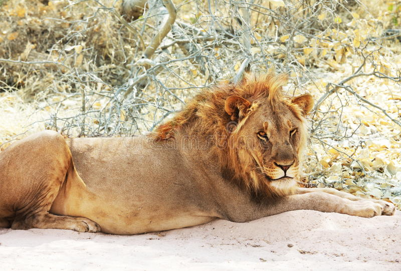 Download Lion stock image. Image of coat, rest, country, africat - 11375039
