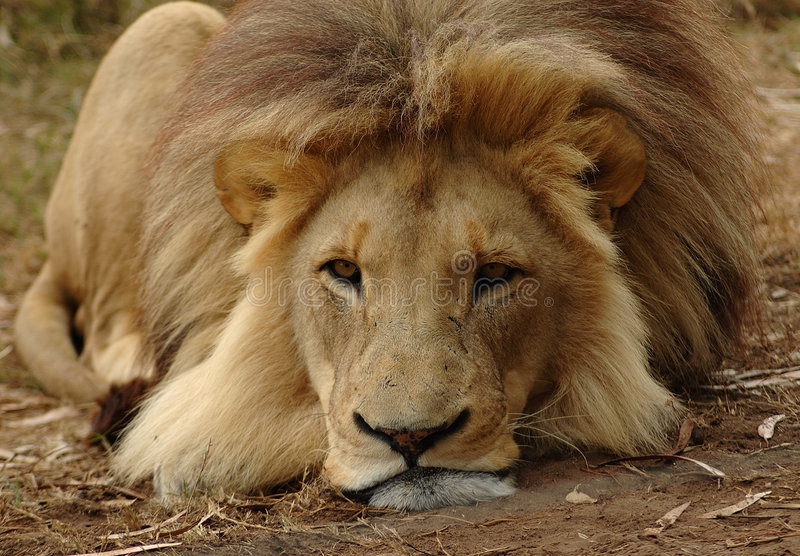 Download Lion stock image. Image of bored, carnivore, african, beast - 1138555