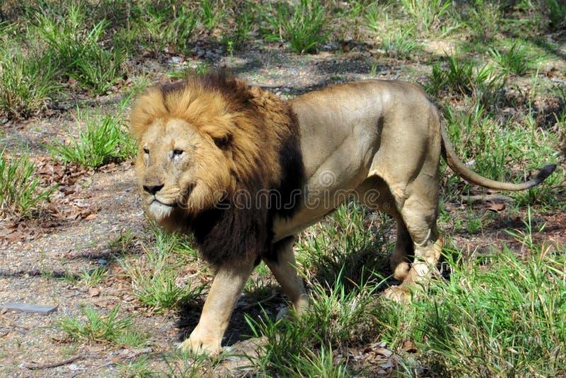 Download Lion stock image. Image of predator, africa, wildlife - 12078287