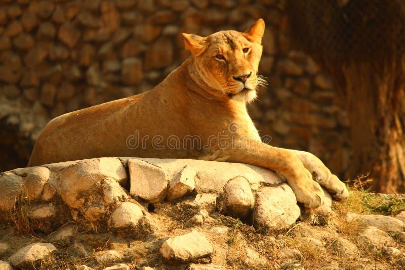 Lion photos libres de droits